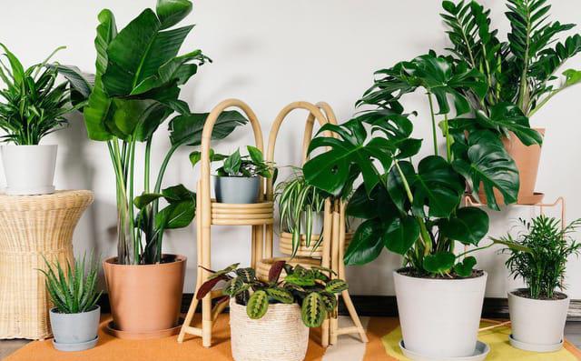 3 loại cây phong thủy vừa thanh lọc không khí, tăng vận may cho gia chủ lại tốt cho người bị dị ứng