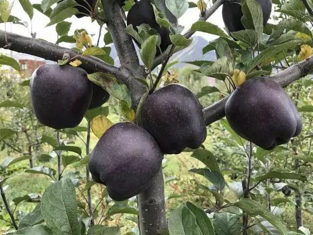 """Bỏ phố về quê trồng táo nhìn như """"nhiễm độc"""", ai dè vớ được """"mỏ vàng"""""""