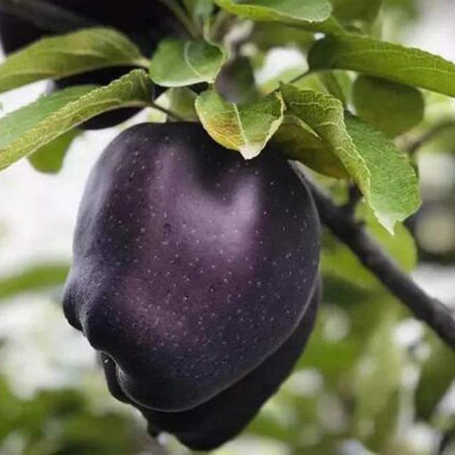 Tận mục giống táo ví như 'kim cương đen', nửa triệu đồng/quả - ảnh 1