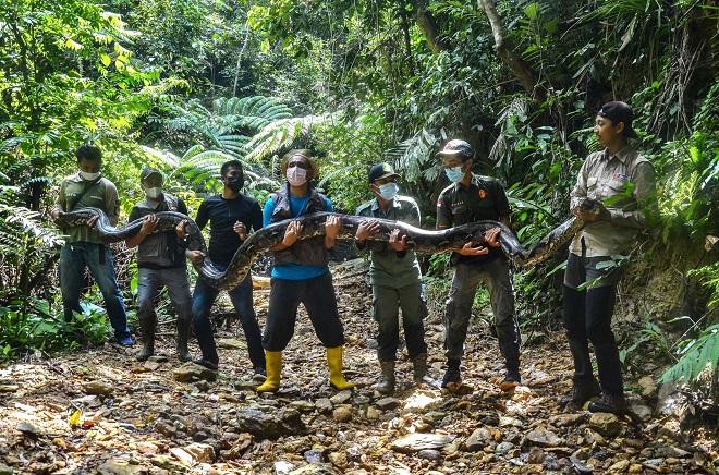 """Tóm gọn trăn """"khủng"""" dài 9 mét, nặng 1 tạ mò vào làng ở Indonesia"""