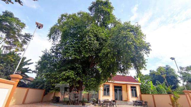 Cây thị lạ ở Hà Tĩnh: Thân cây mục rỗng nhưng gốc vẫn tươi tốt lạ thường, cho cả tạ quả