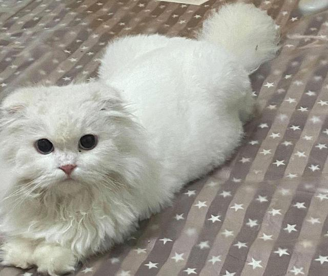 Được tặng chú mèo tai cụp ngoan ngoãn, cô gái đang vui thì nhận được câu nói như 'sét đánh ngang tai' từ bác sĩ thú y