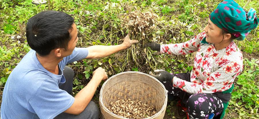 Hà Giang: Nông dân đổi đời nhờ trồng thứ cây ra quả vùi dưới đất, nhổ bật lên toàn củ là củ