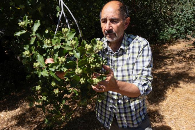 Bào chế vaccine từ loài cây quý của Chile