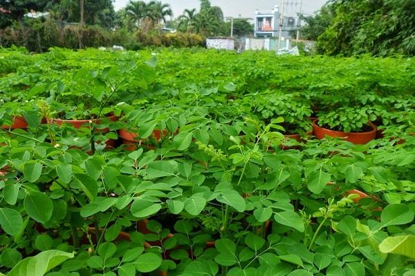 Cây Chùm Ngây: Tác dụng, cách dùng và cách trồng