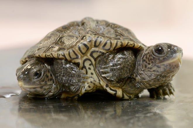 Con rùa kỳ lạ có hai đầu và sáu chân - ảnh 1