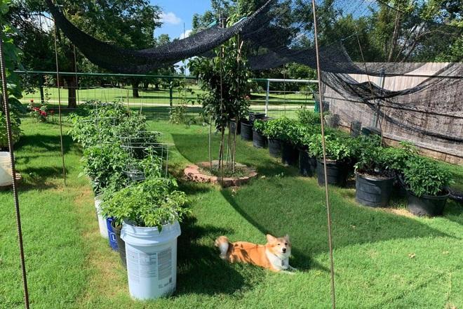 Chàng trai gốc Việt làm vườn 300m2, trồng ớt và hoa hồng ở Mỹ - ảnh 1