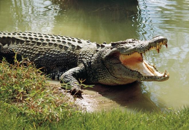 Indonesia: Đi tắm sông cùng bạn, bé gái 8 tuổi bị cá sấu ăn thịt gây hãi hùng