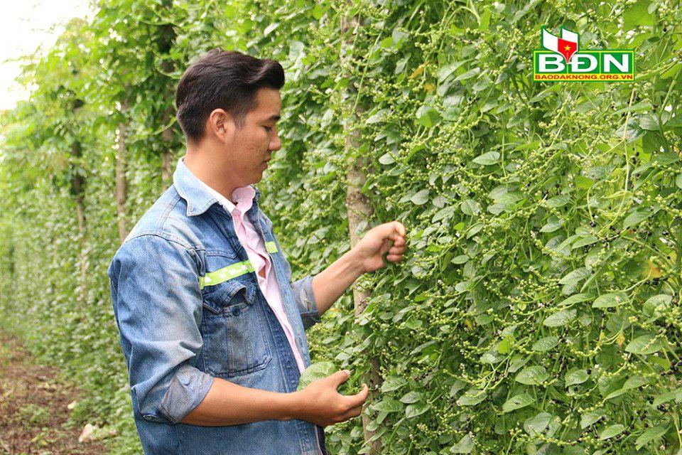 Đắk Nông: Nghỉ việc ở Đồng Nai, trai đẹp về làng trồng mồng tơi tuốt hạt phơi khô bán vô Sài Gòn - ảnh 1