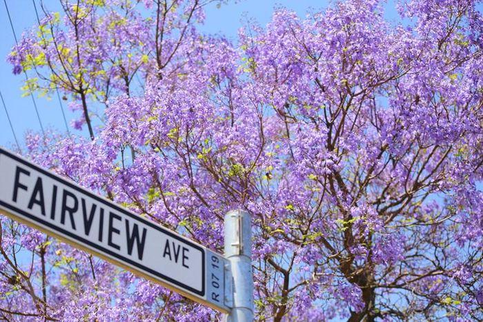 Pretoria – thành phố hoa phượng tím của Nam Phi